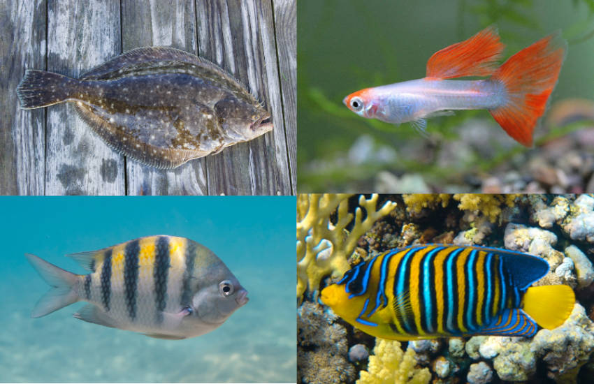 four fish regarding the questions What Kind of Fish is Flounder from the Little Mermaid
